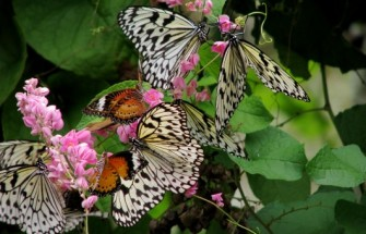Wikipedia | Malaysia - Penang Butterfly Gardens - 05