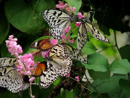 Wikipedia | Malaysia   Penang Butterfly Gardens   05