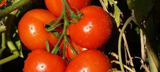 Fresh Tomatoes to Grow Indoors
